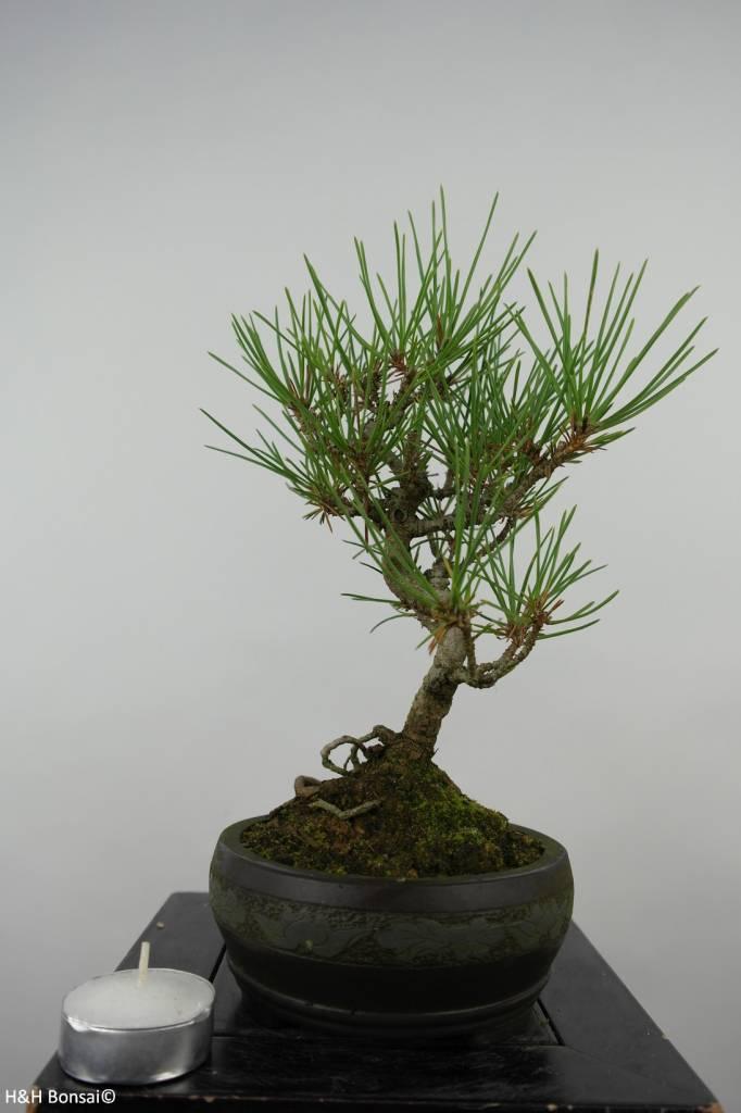 Bonsai Shohin Japanese Black Pine, Pinus thunbergii, no. 6011