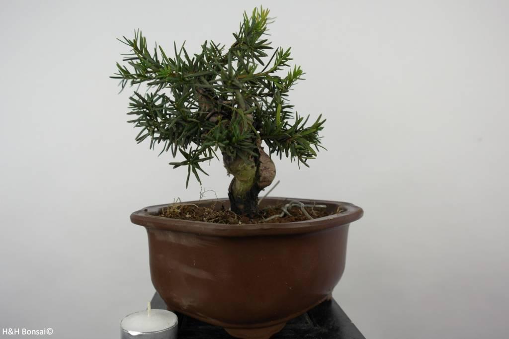 Bonsai Shohin Japanese yew, Taxus cuspidata, no. 6014