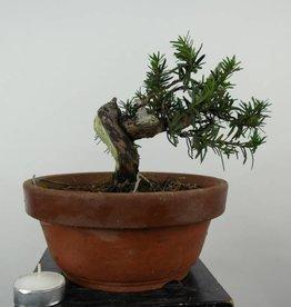 Bonsai Taxus cuspidata, no. 6016