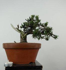 Bonsai Taxus cuspidata, no. 6019