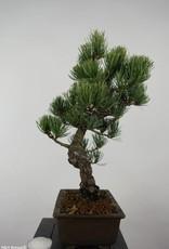 Bonsai White pine, Pinus parviflora, no. 6044