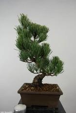 Bonsai White pine, Pinus parviflora, no. 6054