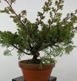 Bonsai Ginepro itoigawa, Juniperus chinensis itoigawa, no. 6074