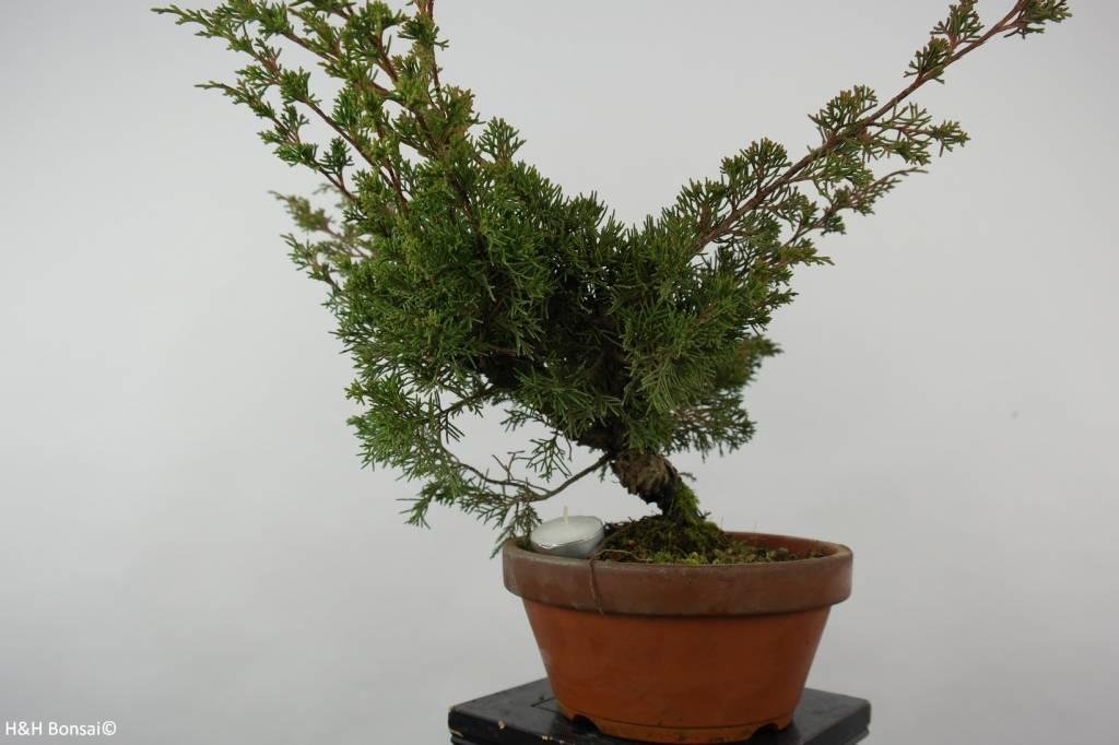 Bonsai Chinese Juniper, Juniperus chinensis itoigawa, no. 6074