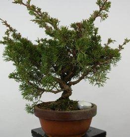 Bonsai Ginepro itoigawa, Juniperus chinensis itoigawa, no. 6077