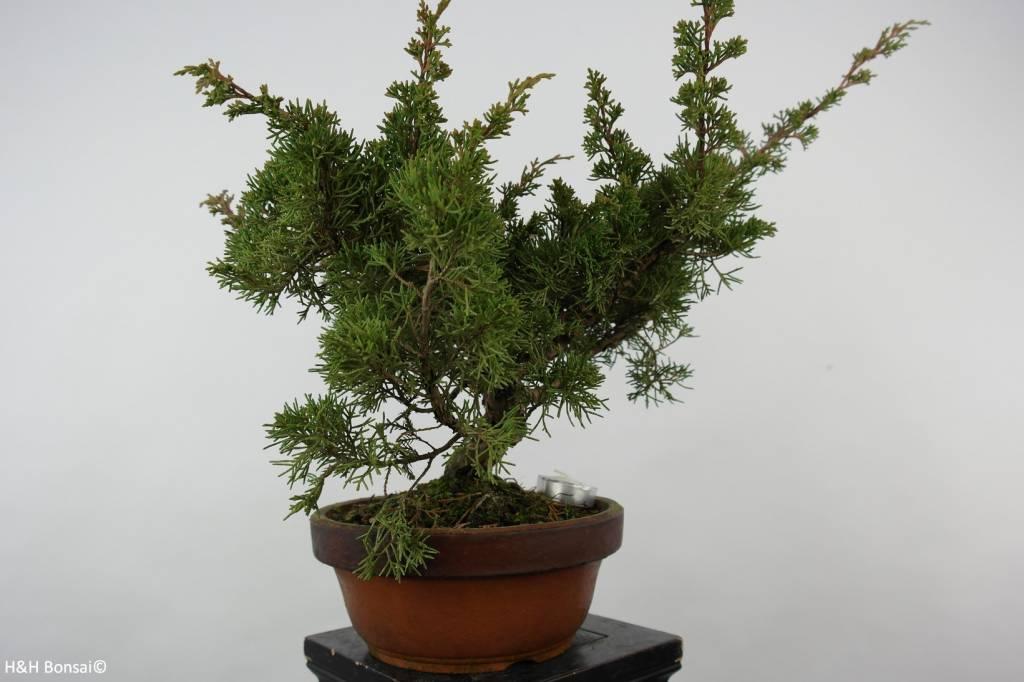 Bonsai Chinese Juniper, Juniperus chinensis itoigawa, no. 6077