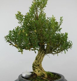 Bonsai di Bosso, Buxus sempervirens, no. 6085