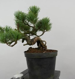 Bonsai Shohin Pino a cinque aghi, Pinus parviflora, no. 6090