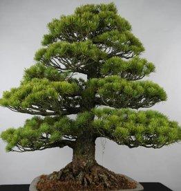 Bonsai Pino bianco giapponese, Pinus parviflora, no. 6176
