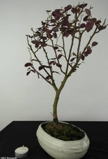 Bonsai Chinese Blush Tree, Loropetalum, no. 6217