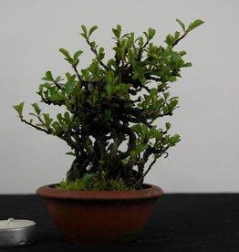 Bonsai di Shohin Catogna da fiore, Chaenomeles speciosa, no. 4441