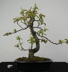 Bonsai Quince, Chaenomeles sinensis, no. 4558