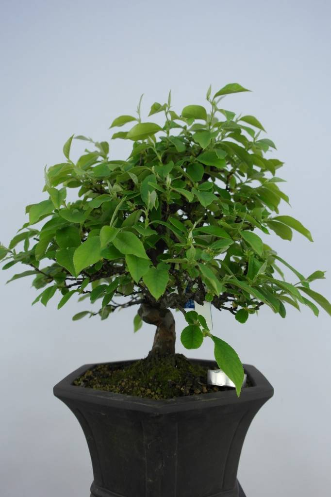 Bonsai Quince, Cydonia oblonga, no. 5664