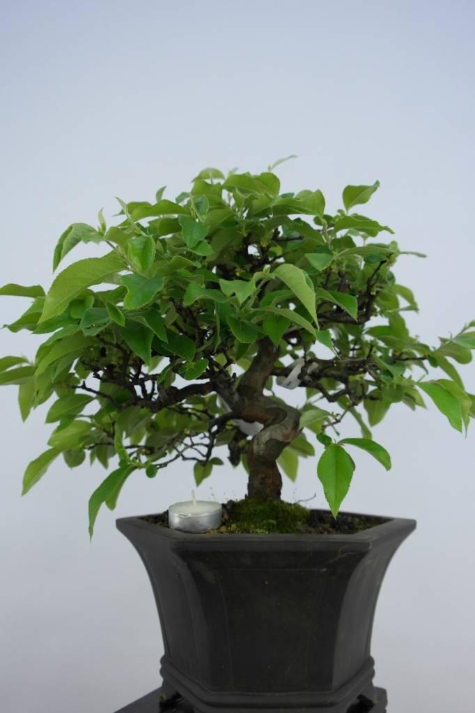 bonsai cotogno da frutto cydonia oblonga no 5665 www ForBonsai Da Frutto Vendita