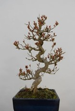 Bonsai Pomegranate, Punica granatum, no. 5812