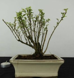 Bonsai Serissa variegata, no. 6318