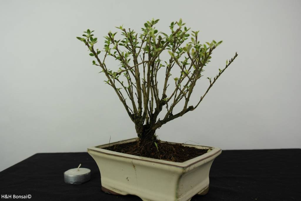 Bonsai Serissa variegata, no. 6318