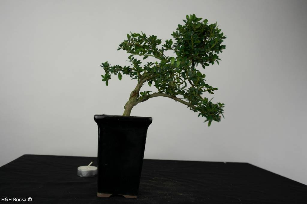 Bonsai Japanese Holly, Ilex crenata, no. 6387