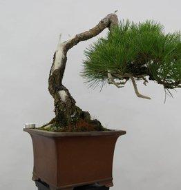 Bonsai Pino rosso del Giappone, cascade, Pinus densiflora, no. 5113