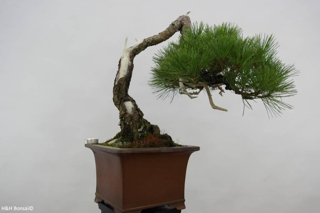 Bonsai pino rosso del giappone cascade pinus densiflora for Bonsai da interno