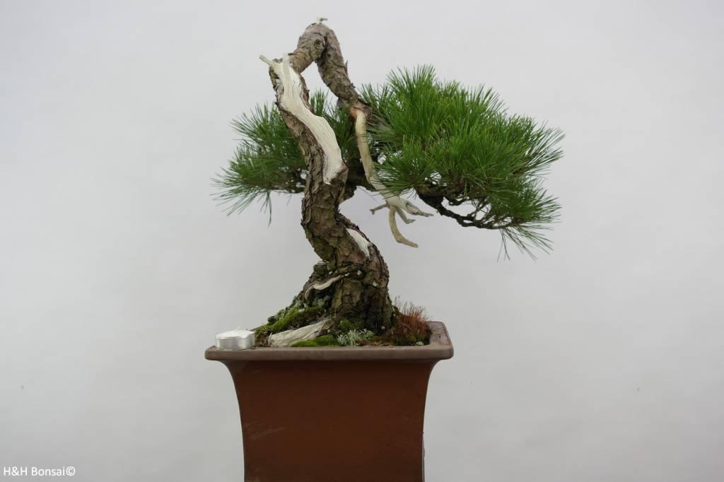 Bonsai Japanese Red Pine, cascade, Pinus densiflora, no. 5113