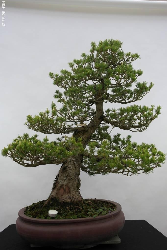 Bonsai pino a cinque aghi zuisho pinus parviflora zuisho for Vasi bonsai giapponesi