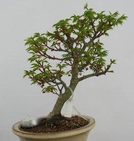 Bonsai Acero palmato shishigashira, Acer palmatum shishigashira, no. 6413