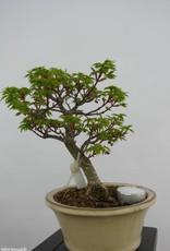 Bonsai Japanese maple shishigashira, Acer palmatum shishigashira, no. 6413