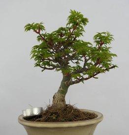 Bonsai Acero palmato shishigashira, Acer palmatum shishigashira, no. 6414