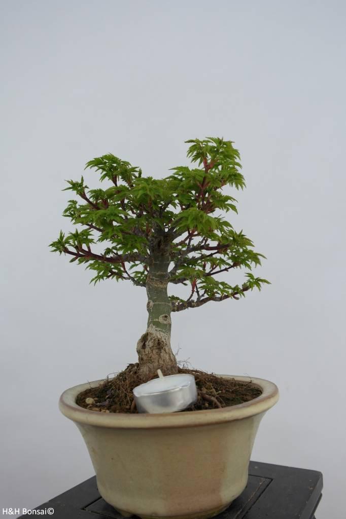 Bonsai acero palmato shishigashira acer palmatum for Acero bonsai vendita