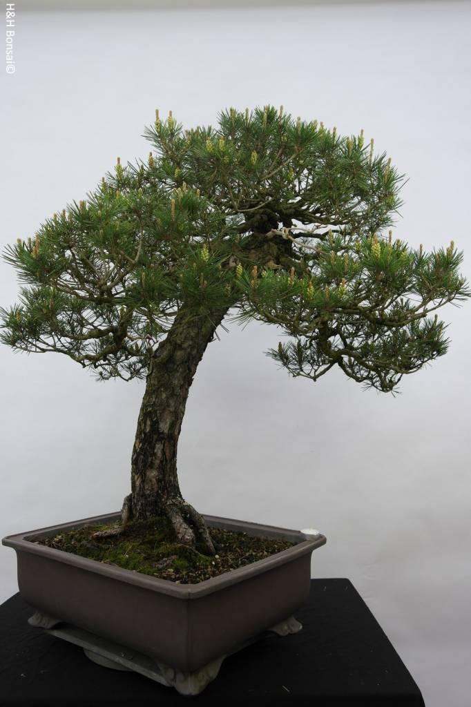 Bonsai Japanese Black Pine, Pinus thunbergii, no. 5167