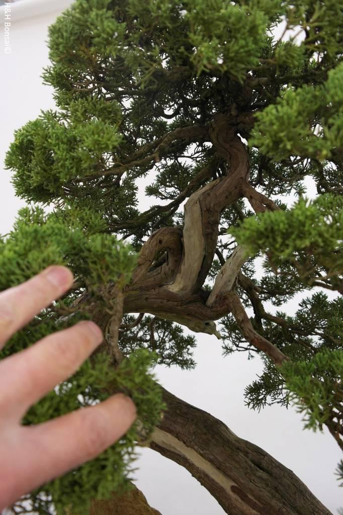 Bonsai Chinese Juniper, Juniperus chinensis itoigawa, no. 5169