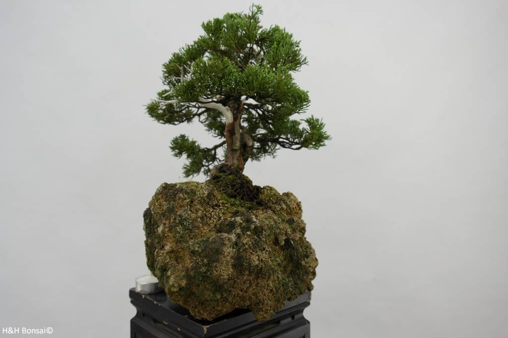 Bonsai Chinese Juniper, Juniperus chinensis, no. 5538