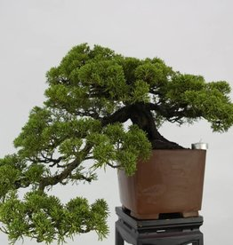 Bonsai Ginepro cinese itoigawa, cascade, Juniperus chinensis itoigawa, no. 5123