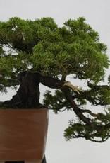 Bonsai Chinese Juniper, cascade, Juniperus chinensis itoigawa, no. 5123