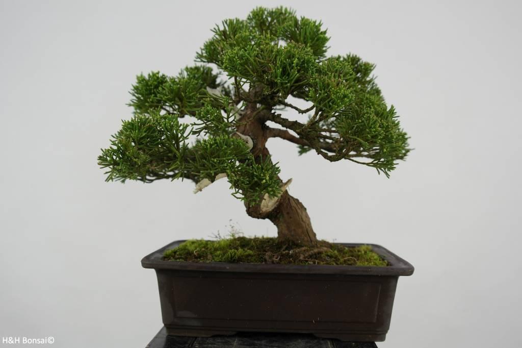 Bonsai Chinese Juniper, Juniperus chinensis, no. 5541