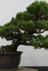 Bonsai Japanese White Pine, Pinus pentaphylla, no. 6432