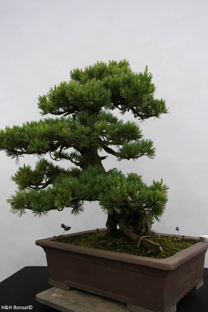 Bonsai Japanese White Pine, Pinus pentaphylla, no. 6434