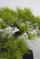 Bonsai Japanese Black Pine, Pinus thunbergii, no. 6435