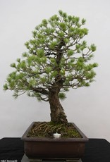Bonsai Japanese White Pine, Pinus pentaphylla, no. 6458