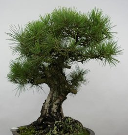 Bonsai Pino nero, Pinus thunbergii, no. 6464