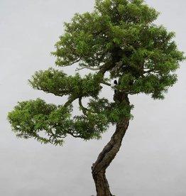 Bonsai Tsuga diversifolia, no. 6480