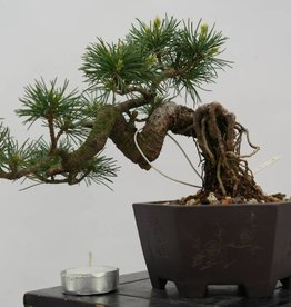 Bonsai Shohin Pino a cinque aghi, Pinus parviflora, no. 6486