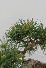 Bonsai Shohin White pine, Pinus parviflora, no. 6486