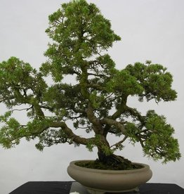 Bonsai Ginepro cinese, Juniperus chinensis, no. 6487