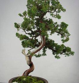 Bonsai Ginepro cinese, Juniperus chinensis, no. 6493