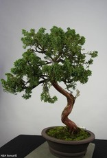 Bonsai Chinese Juniper, Juniperus chinensis, no. 6493