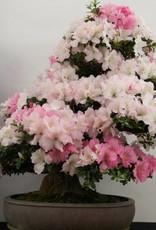 Bonsai Azalea Satsuki Gyoten, no. 5293
