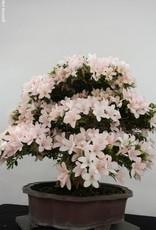 Bonsai Azalea SatsukiKozan, no. 5700