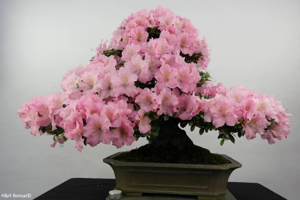 Bonsai azalea satsuki no 5291 - Azalea da interno ...